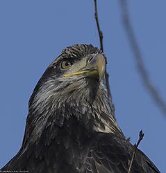 Juvenile_Bald_Eagle.jpg