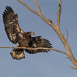 Juvenile_Bald_Eagle_Longmont_Dec_13.jpg