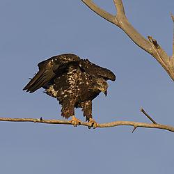 Juvenile_Bald_Eagle_Longmont_Dec_13_3.jpg