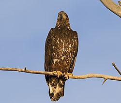 Juvenile_Bald_Eagle_at_Sunset_Longmont_Dec_13_6.jpg