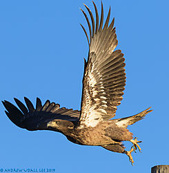 Juvenile_Bald_Eagle_in_flight_1_Lagerman_2019.jpg