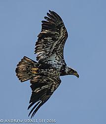Juvenile_Eagle_Lake_Washington.jpg