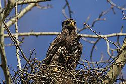 Juvenile_Eagle_March_20161.jpg