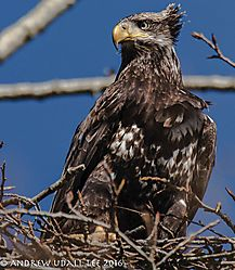 Juvenile_bald_eagler_marymoore.jpg