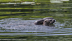 Kissing_otters_cavorting_in_the_slough_2.jpg
