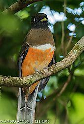 Orange-bellied_Trogan_female_Monteverde.jpg