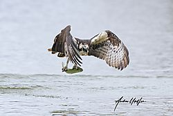 Osprey_41820_coming_at_me_with_fish-11.jpg