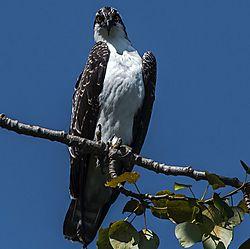 Osprey_perch_.jpg