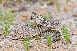 Rattlesnake_3-9-2020.jpg