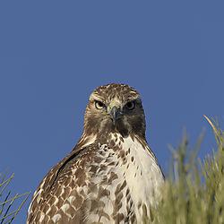 Red_tail_Hawk_Nov_13_Lagerman_2.jpg
