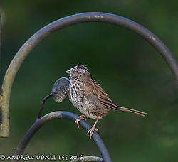 Song_sparrow1.jpg