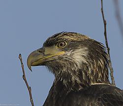 Sub_Adult_Bald_Eagle_-7.jpg