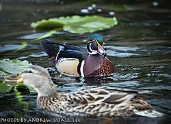 Wood_Duck_and_Mallard_Hen.jpg
