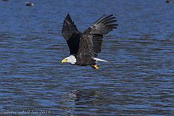 eagle_racing_across_the_water.jpg