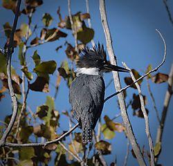 kingfisher_walden_pond_101318.jpg