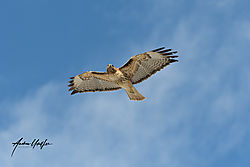 redtailed_hawk_121219.jpg