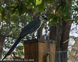 white_throated_magpie_jay_.jpg