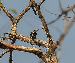 woodpecker_CR_.jpg
