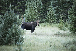 Cow_Moose_in_Meadow_3606.jpg
