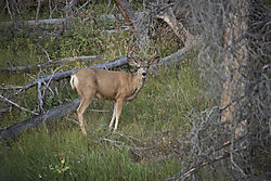 Deer_East_of_Alpine_Zone_Rte_34_3546.jpg