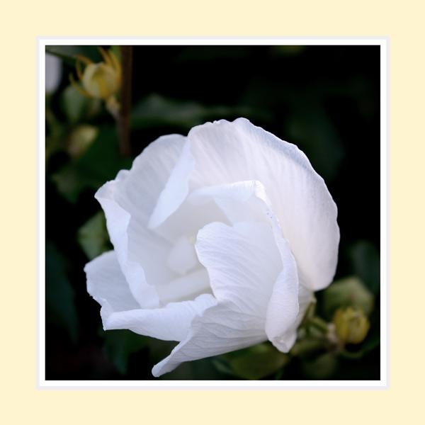 White-Rose-of-Sharon2016-1