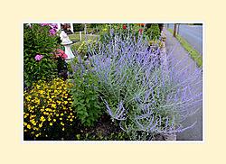 Lavender2016-1.jpg
