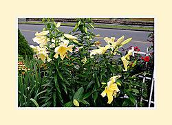 Lillies2016-1.jpg