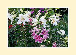Lillies2016-3.jpg