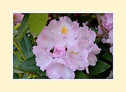 Rhododendron2016-1.jpg
