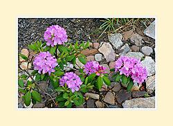 Rhododendron2016-2.jpg