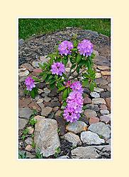 Rhododendron2016-4.jpg