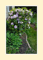 Rhododendron2016-5.jpg
