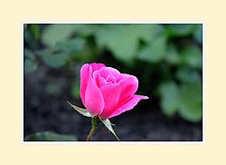 Rose2016-1.jpg