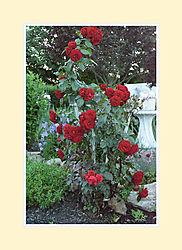 Rose2016-6.jpg