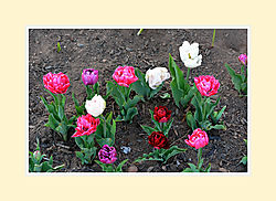 Tulips2016-2.jpg