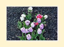Tulips2016-4.jpg