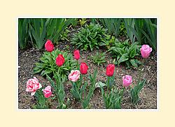 Tulips2016-5.jpg