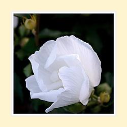 White-Rose-of-Sharon2016-1.jpg