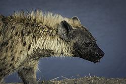 Hyena1.jpg