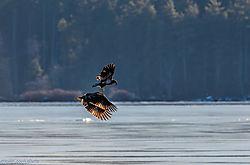 Eagle-2575.jpg