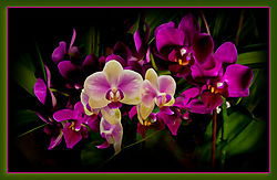 Phalaenopsis-.jpg