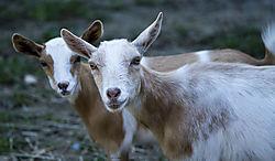 Goat_Aug19_3CR.jpg