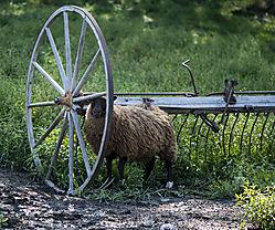 Sheep_Aug19_2CR.jpg
