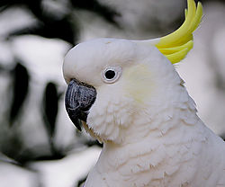 9_Sulphur_Crested_Cockatoo_.JPG