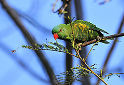 Scaley_Breasted_Lorikeet_.JPG