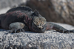 Galapagos_Marine_Iguana.jpg