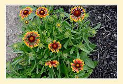 Blanket-Flowers1.jpg