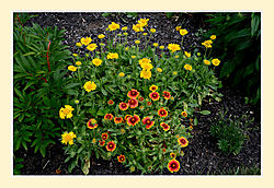Blanket-Flowers2.jpg