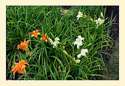 Day-Lilly-Mixture2.jpg