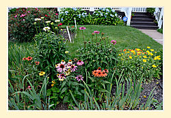 Echinacea11.jpg